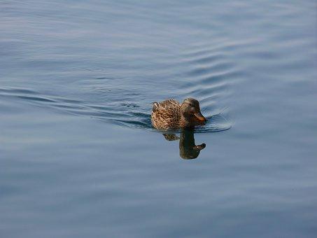Duck, Water, Nature
