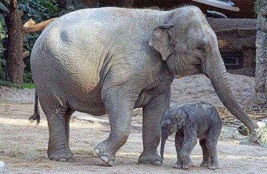 Asian Elephant, Young Animal, Calf, Mammal