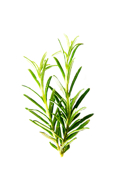 Rosemary, Isolated, Herbs, Green, Leaf, Ingredient
