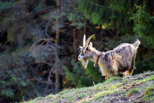 Capra, Mammal, Animal, Home, Animal World, Nature