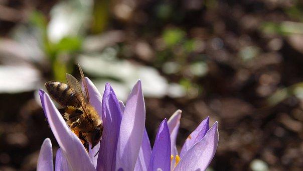 Crocus, Bee, Purple, Spring, Plant, Nature, Flower