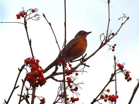 Drozd, Bird, Thrush Wandering, Nature, Coloration