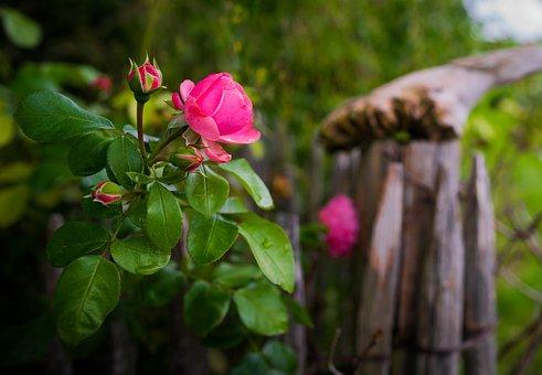 Rose, Bokeh, Blossom, Bloom, Plant, Nature, Garden