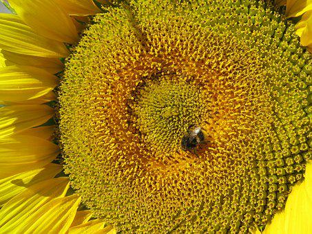 Sun Flower, Flower, Yellow, Bee, Close