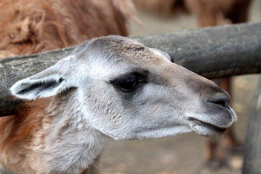 Guanaco, Lama Guanicoe, Wanaku, Russian Animal, Animal