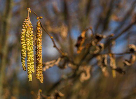 Alder, Plant, Nature, Spring, Close, Flora, Branch
