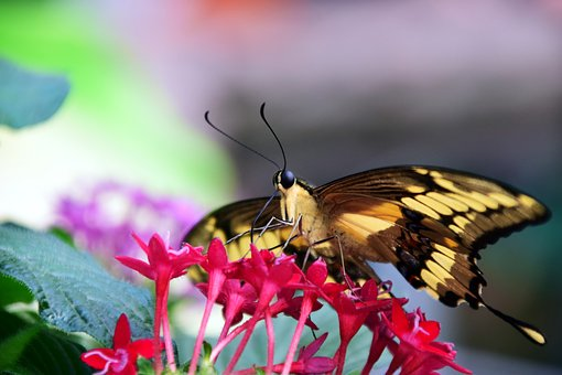 Butterfly, Exotic, Tropical, Insect, Wing, Colorful