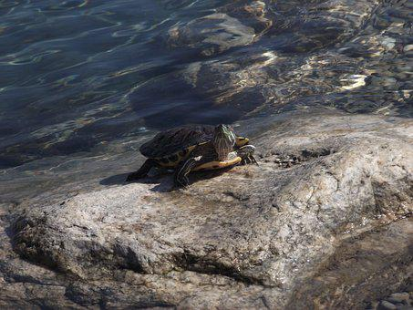 Tortoise, Park, Water, Animal