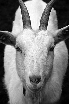 Goat, Billy Goat, Horns, Head, Close, Frontal, View