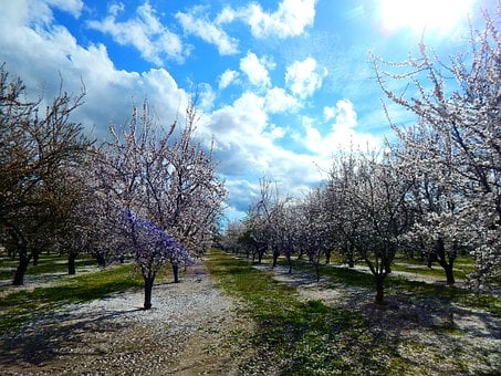 Almonds, Beautiful, Ha, Blossom, Spring, Blooming, Tree