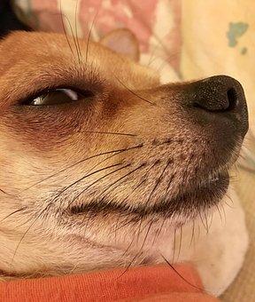 Dog, Chihuahua, Animals, Sobel, Fur, Pets, Nos, Eye