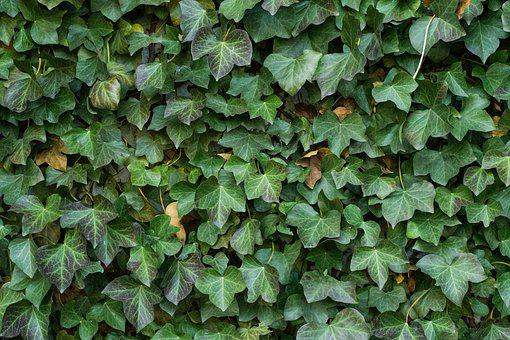 Texture, Ivy, Leaves, Background, Climber, Nature