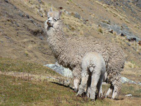 Lama, Peru, Mother, Feed, Baby, Nature, Animals