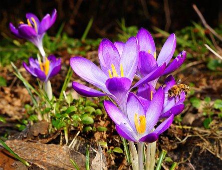 Crocus, Flowers, Bee, Spring, Spring Flower, Purple