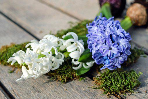 Hyacinth, Hyacinthus, Flowers, Bloom, White, Violet