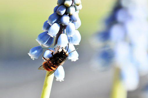 Mason Bee, Wild Bee, Bee, Animal, Insect, Macro
