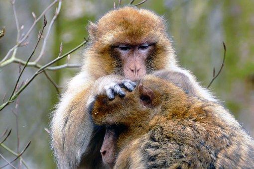Ape, Monkey, Animal, Cute, Mammal, Wildlife, Primate