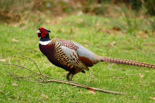 Bird, Pheasant, Animal, Wild, Feather, Nature, Wildlife