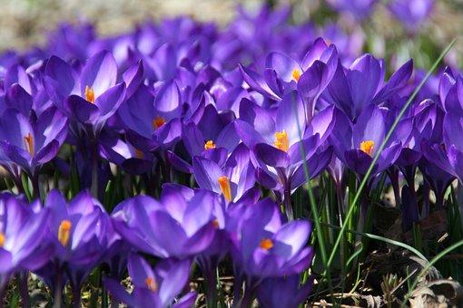 Spring, Crocus, Flowers, Bloom, Blue, Grow