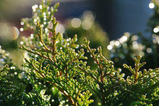 Cypress, Drop Of Water, Beaded, Cupressus Sempervirens