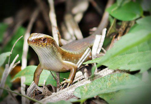 Lizard, Search, Eating