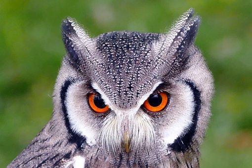 Southern White Faced Owl, Birds, Owl, White, Prey