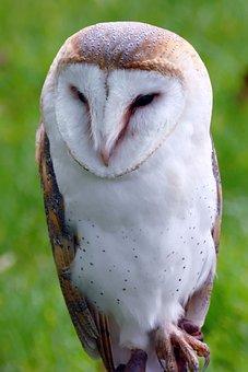 Bird, Barn Owl, Owl, Barn, Animal, Wildlife, White