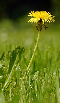 Dandelion, Meadow, Yellow, Spring, Pointed Flower