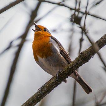 Robin, Rotbrüstchen, Twitter, Twitters, Sings, Singing