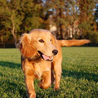 Dog, Running Dog, Run, Animal, Happy Dog, Country
