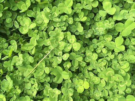 Clover, Green, Spring