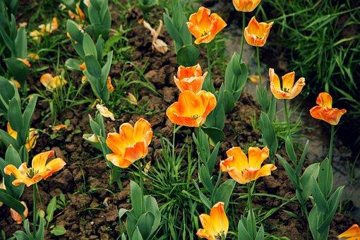 Tulip, Orange, Natural Landscape, Spring Flowers