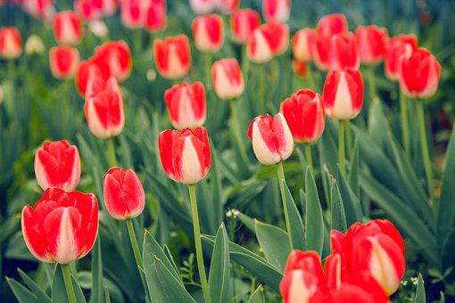 Tulip, Red And White, Natural Landscape, Spring Flowers