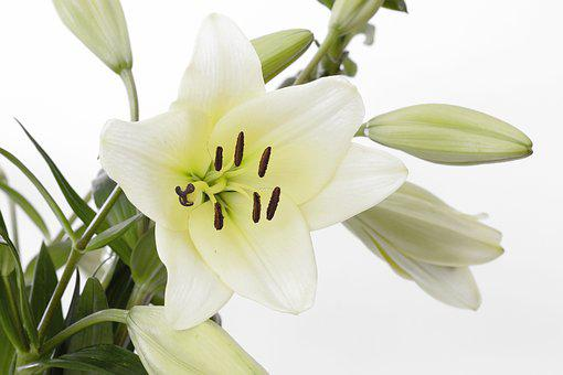 Lily, Blossom, Bloom, Flower, White, Green, Close