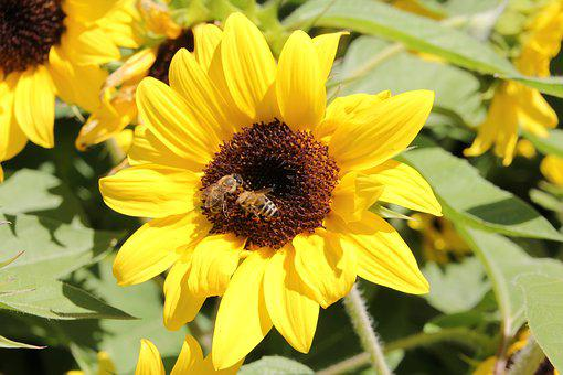 Sunflower, Nature, Bees, Flower, Yellow, Summer, Plant
