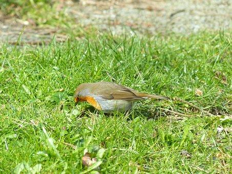 Bird, Robin, Animal, Erithacus Rubecula, Species