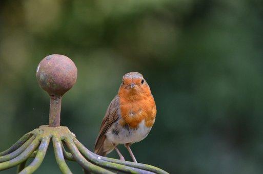 Robin, Bird, Songbird, Animal, Erithacus Rubecula