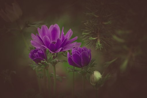 Ranunculus, Violet, Flower, Violet Flower, Blossom