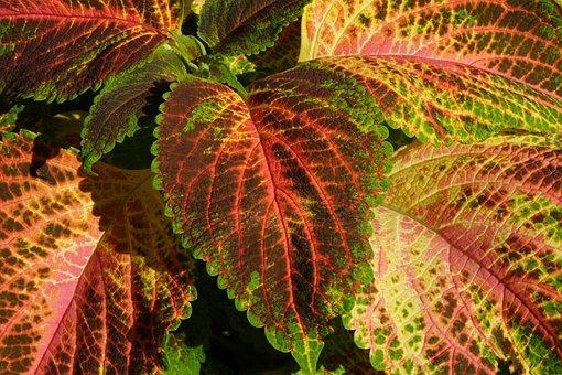 Colorful Nettle, Nettle, Plant, Nature, Leaf