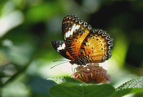 Butterfly, Exotic, Tropical, Insect, Animal, Exot, Wing