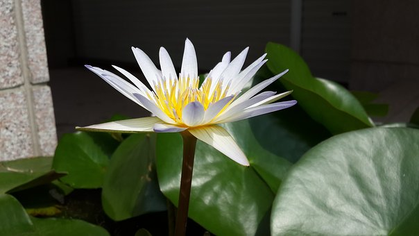 Nymphaea Alba, Purple 蓮, Flower, Early In The Morning