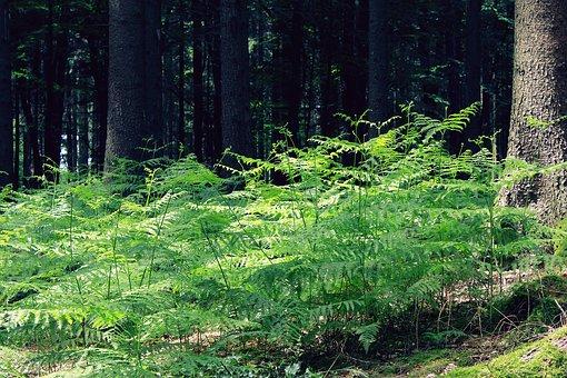 Fern, Forest, Nature, Mushroom, Slope, Log, Trees