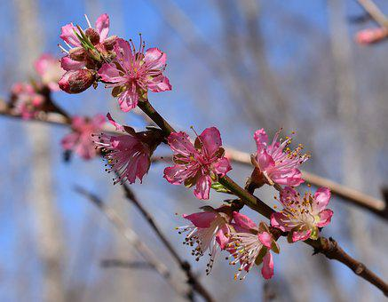 Peach Blossoms, Peach Tree, Blossom, Flower, Bloom