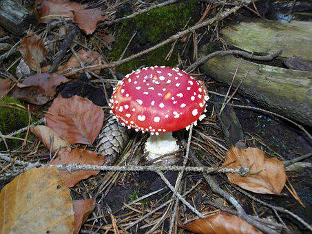 Fly Agaric, Nature, Forest, Red Fly Agaric Mushroom