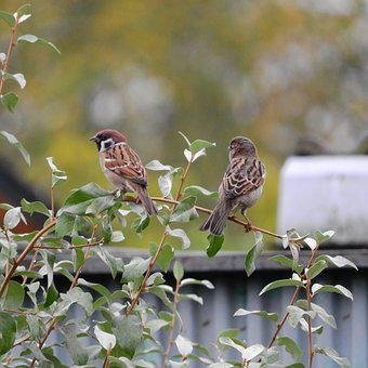 Sparrow, Passer Montanus, Eurasian Tree Sparrow