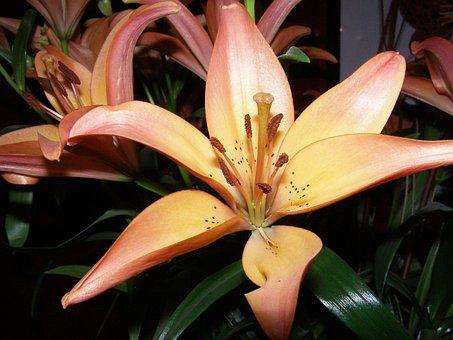 Lily, Blossom, Bloom, Stamp, Orange
