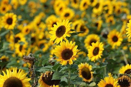 Sunflower, Yellow, Blossom, Bloom, Flower, Summer