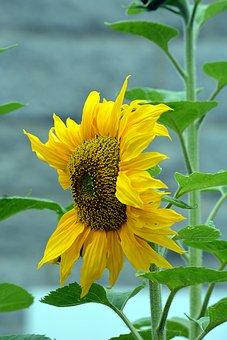 Flower, Sunflower, Flora, Petal, Yellow, Nature, Plant