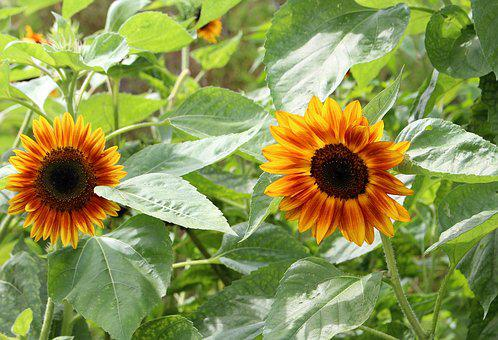 Sunflowers, Decorative, Nature, Flowering, Summer