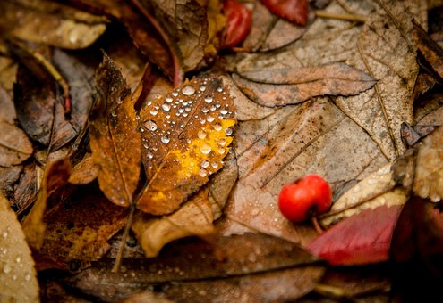Leaves, Drops, Rowan, Autumn, Yellow